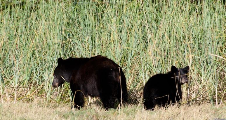 Black chubby bears, small cub boob